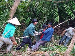 Villagers Harvesting Rattan