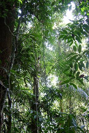 Rattan Vines Growing in the Forest